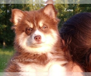 Pomsky Puppy for sale in ELKLAND, MO, USA