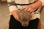 Small #2 Labrador Retriever