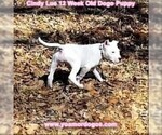 Small Photo #152 Dogo Argentino Puppy For Sale in PINEVILLE, MO, USA