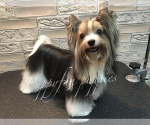 Medium Biewer Terrier