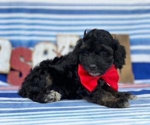 Cock-A-Poo Dog for Adoption in LANCASTER, Pennsylvania USA