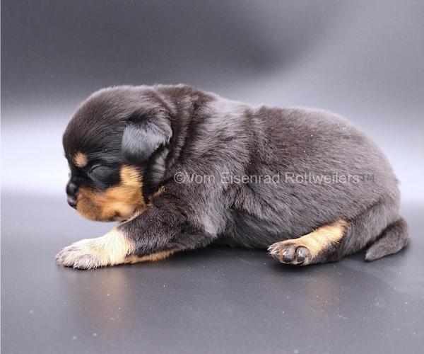 Medium Photo #1 Rottweiler Puppy For Sale in FONTANA, CA, USA