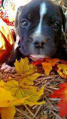 Olde English Bulldogge Puppy For Sale in METROPOLIS, IL, USA