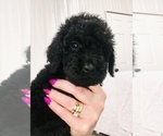 Poodle (Standard) Puppy For Sale in NEWFOLDEN, MN, USA