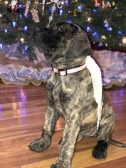Mastiff Puppy For Sale in PIKETON, OH