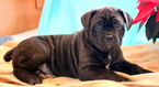 Cane Corso Puppy For Sale in MOUNT JOY, PA, USA