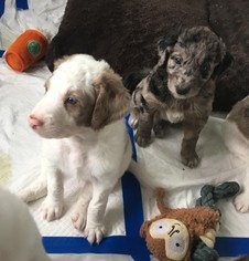 Australian Shepherd-Labradoodle Mix Puppy For Sale in MIDDLETOWN, RI, USA