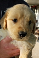 Golden Retriever Puppy For Sale in GLENWOOD CITY, WI