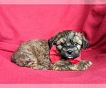 Small #2 Poodle (Miniature)-Shorkie Tzu Mix