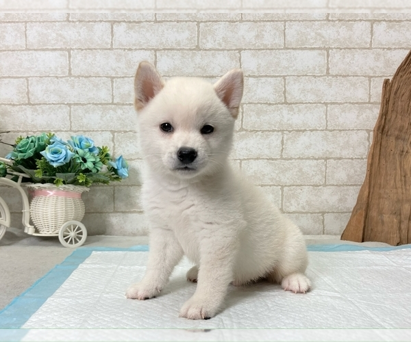 Medium Photo #2 Shiba Inu Puppy For Sale in BEVERLY HILLS, CA, USA