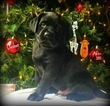 Labrador Retriever Puppy For Sale in HILLSBORO, OH,