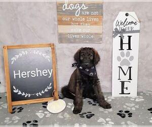 Labradoodle Puppy for Sale in SAN ANTONIO, Texas USA
