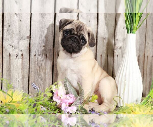 Medium Photo #1 Pug Puppy For Sale in MOUNT VERNON, OH, USA