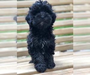 Medium Maltese-Poodle (Toy) Mix