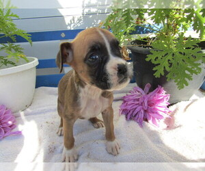 Boxer Puppy for sale in SOUTH BEND, IN, USA