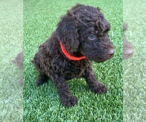 Labradoodle Puppy for Sale in THE VILLAGES, Florida USA