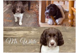 Puppyfinder com: English Springer Spaniel puppies puppies for sale