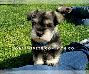 Schnauzer (Miniature) Puppy for sale in CEDAR GAP, MO, USA