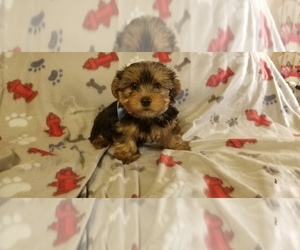 Yorkshire Terrier Puppy for sale in MANSFIELD, TX, USA