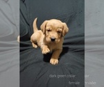 Puppy 2 Golden Labrador