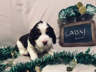 English Springer Spaniel Puppy for sale in ALLIANCE, OH, USA