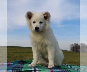 Huskimo Puppy for sale in WILLIAMSPORT, MD, USA