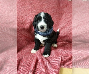 Bernedoodle Puppy for Sale in LULING, Texas USA