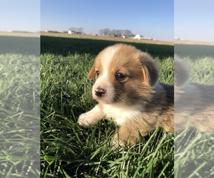 Pembroke Welsh Corgi Puppy for sale in ARTHUR, IL, USA