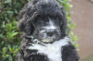 Bernedoodle Puppy For Sale in ATHENS, AL, USA