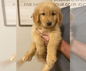 Golden Retriever Puppy for sale in EVART, MI, USA
