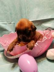 Boxer Puppy For Sale in METROPOLIS, IL, USA