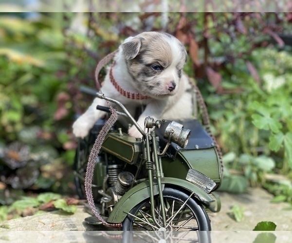Medium Photo #12 Bullhuahua-Chihuahua Mix Puppy For Sale in RAWSONVILLE, MI, USA