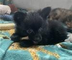 Small Photo #7 Pomeranian Puppy For Sale in KEAAU, HI, USA