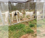 Anatolian Shepherd Puppy For Sale in LAURENS, SC, USA