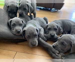Great Dane Puppy for sale in BLUEFIELD, WV, USA