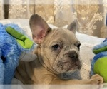Small Photo #3 French Bulldog Puppy For Sale in JACKSONVILLE, FL, USA