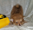 Pomeranian Puppy For Sale in BARNETT, MO,