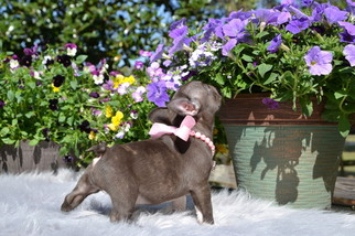 French Bulldog Puppy For Sale in SUMMERFIELD, FL