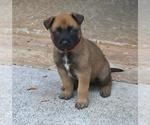 Puppy 8 Belgian Malinois