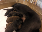 Labrador Retriever Puppy For Sale in PUEBLO, CO