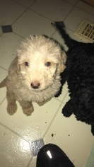 Labradoodle Puppy For Sale in SOUTH BEND, IN