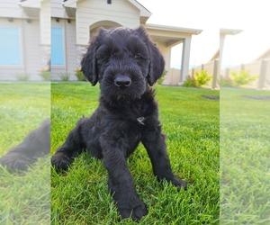 Schnauzer (Giant) Dog for Adoption in NAMPA, Idaho USA