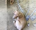 Puppy 5 Goldendoodle-Labrador Retriever Mix