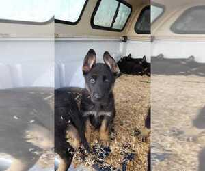 German Shepherd Dog Puppy for sale in CHESNEE, SC, USA