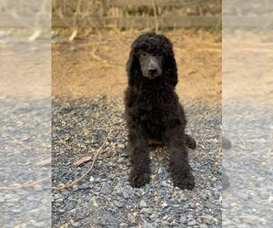 Poodle (Standard) Puppy for Sale in CHANTILLY, Virginia USA