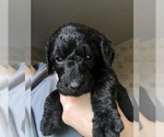 Small #30 Labradoodle