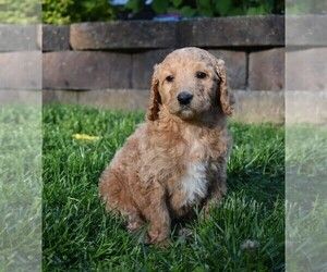 Goldendoodle-Poodle (Standard) Mix Puppy for Sale in MILLERSBURG, Ohio USA