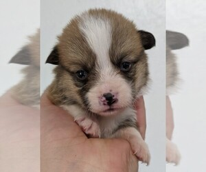 Pembroke Welsh Corgi Puppy for sale in LUFKIN, TX, USA