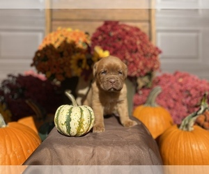 Dogue de Bordeaux Puppy for Sale in NEOSHO, Missouri USA