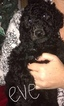 Poodle (Standard) Puppy For Sale in TRYON, NC, USA